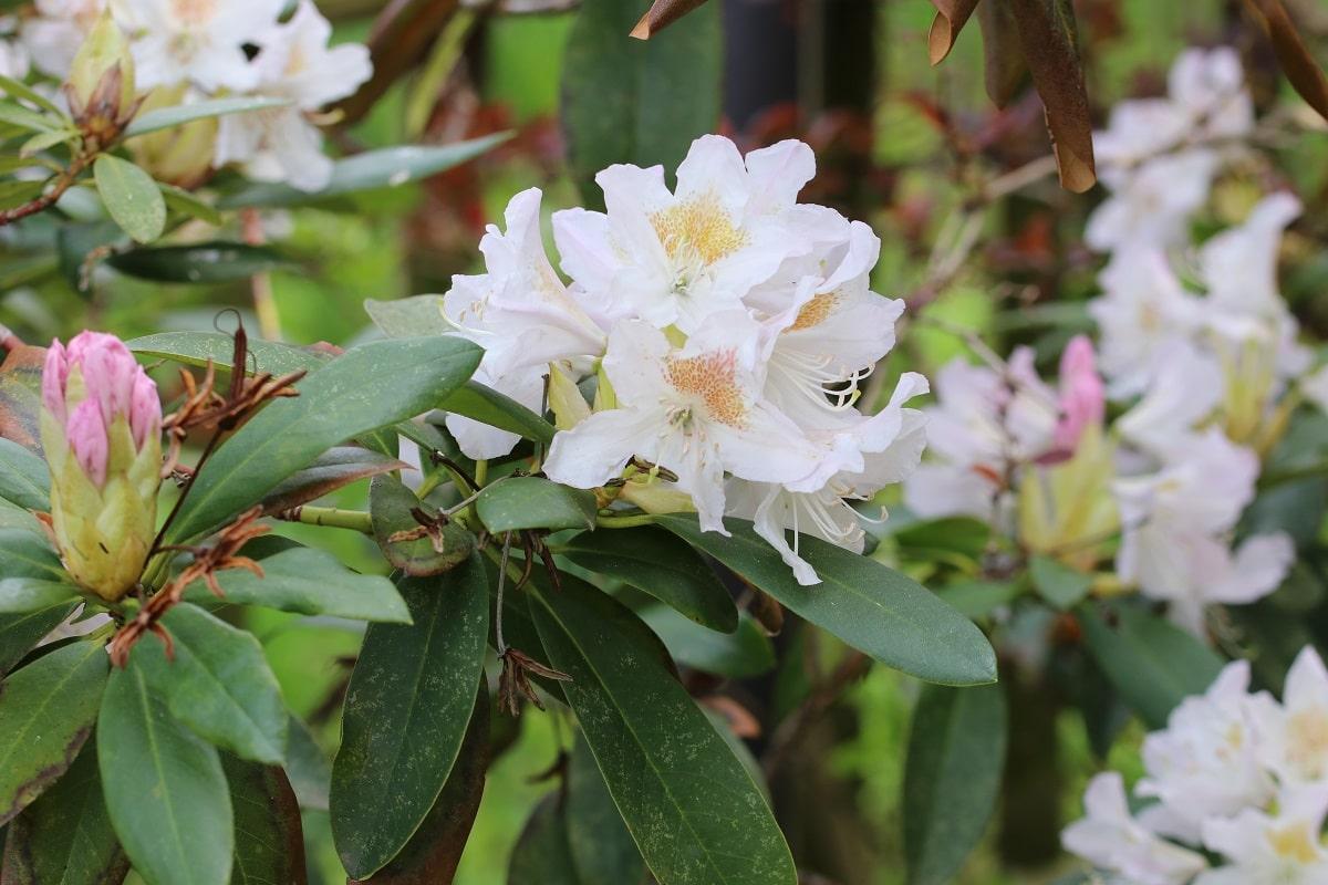 Rhododendron mit weißen Blüten