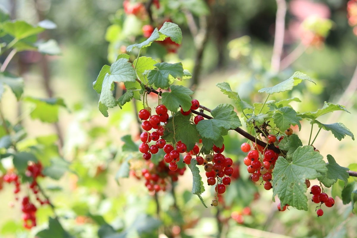 Rote Johannisbeeren - Ribes rubrum