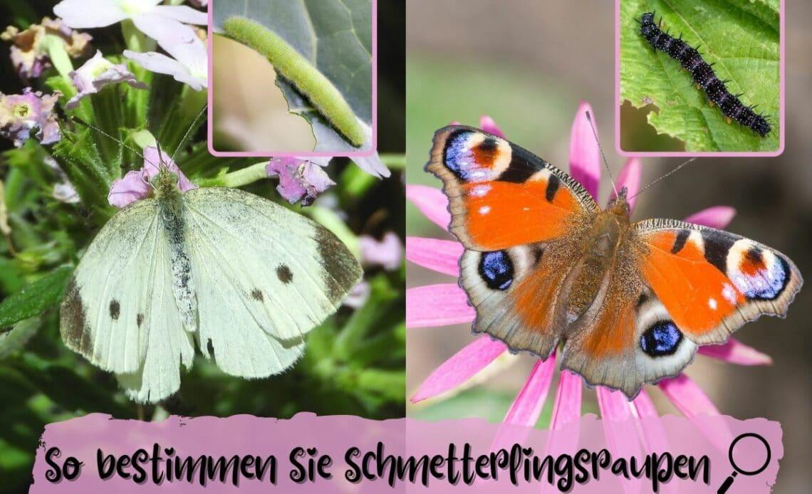 Schmetterlingsraupen bestimmen