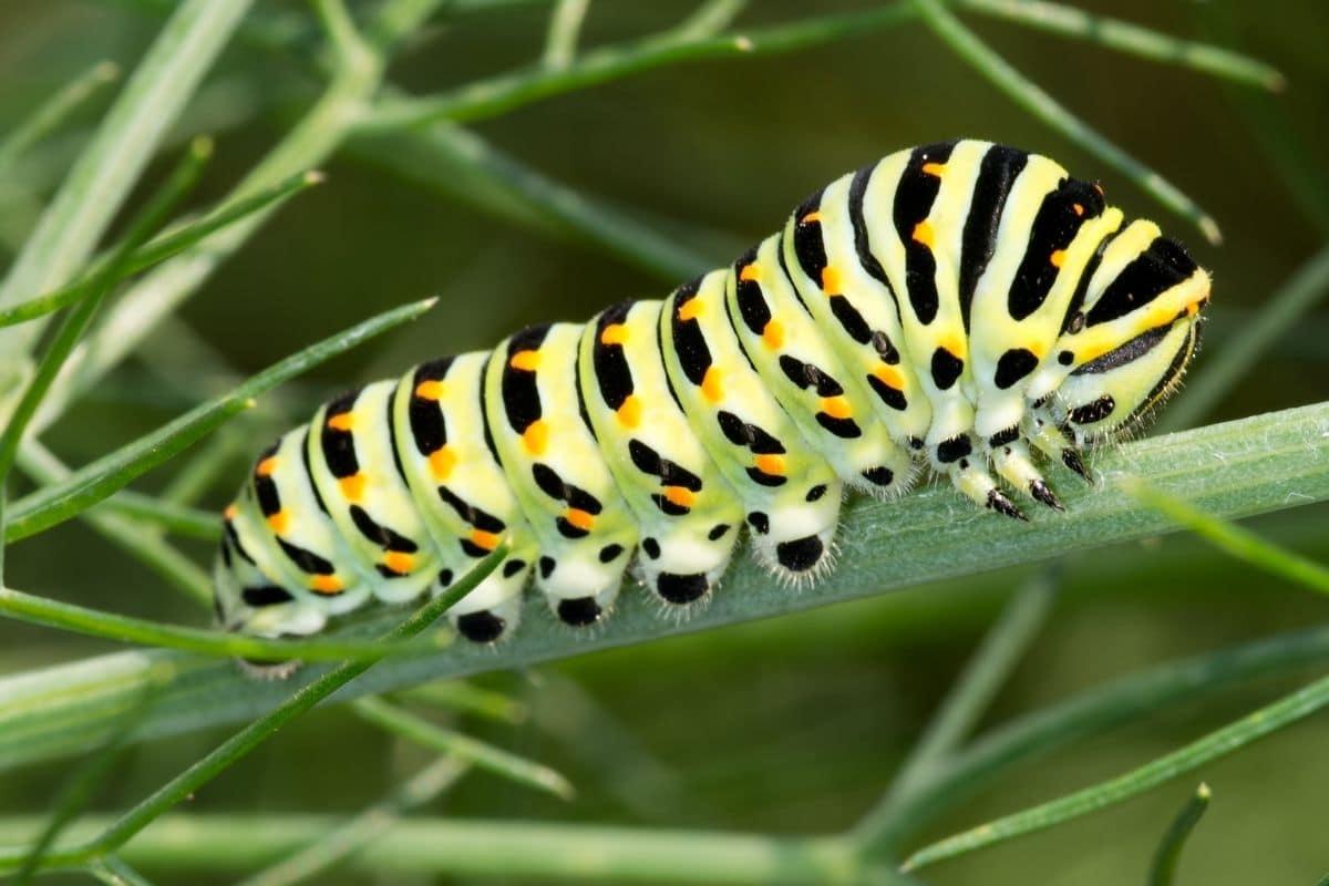 Schmetterlingsraupen - Schwalbenschwanz