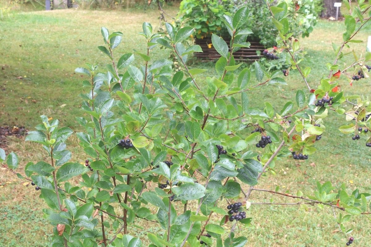 Schwarze Apfelbeere - Aronia melanocarpa