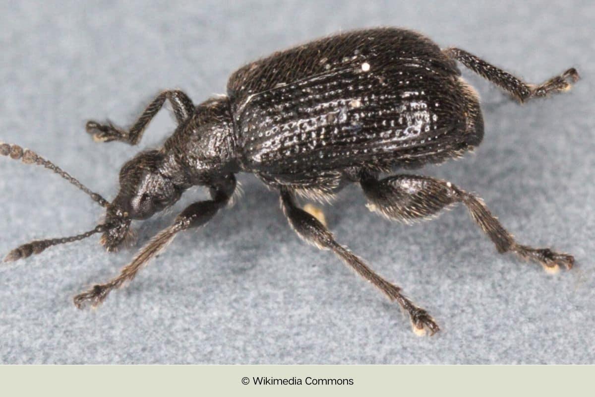 Kleiner Käfer mit hartem Panzer - Schwarzer Birkenblattroller