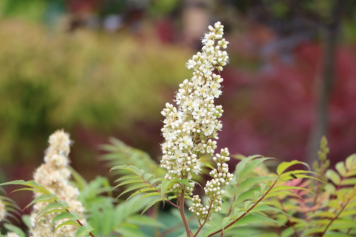 Sibirische Fiederspiere - Sorbaria sorbifolia