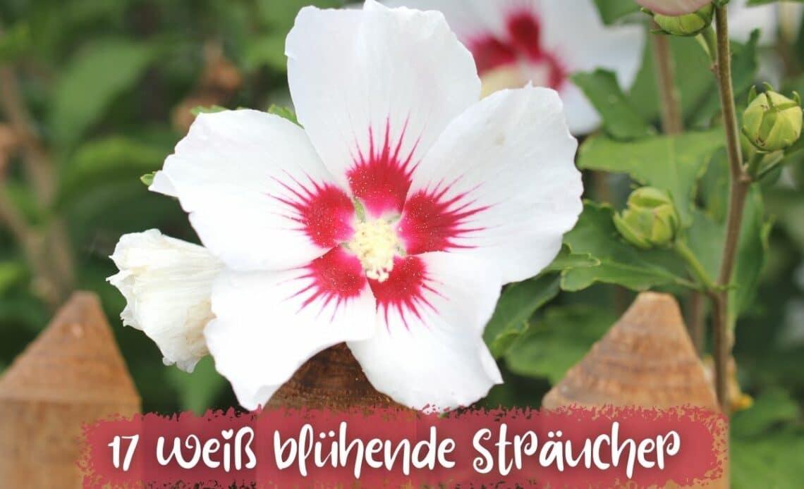 Sträucher mit weißen Blüten - Straucheibisch