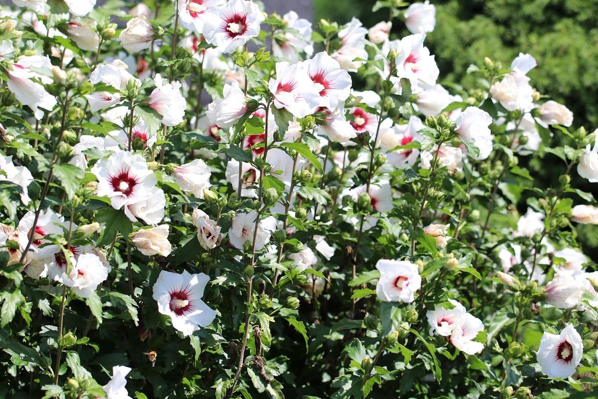 Straucheibisch mit weißen Blüten