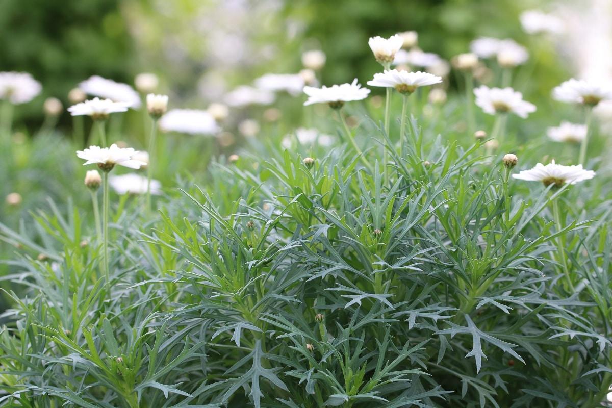 Pflanzen für den Südbalkon - Strauchmargerite