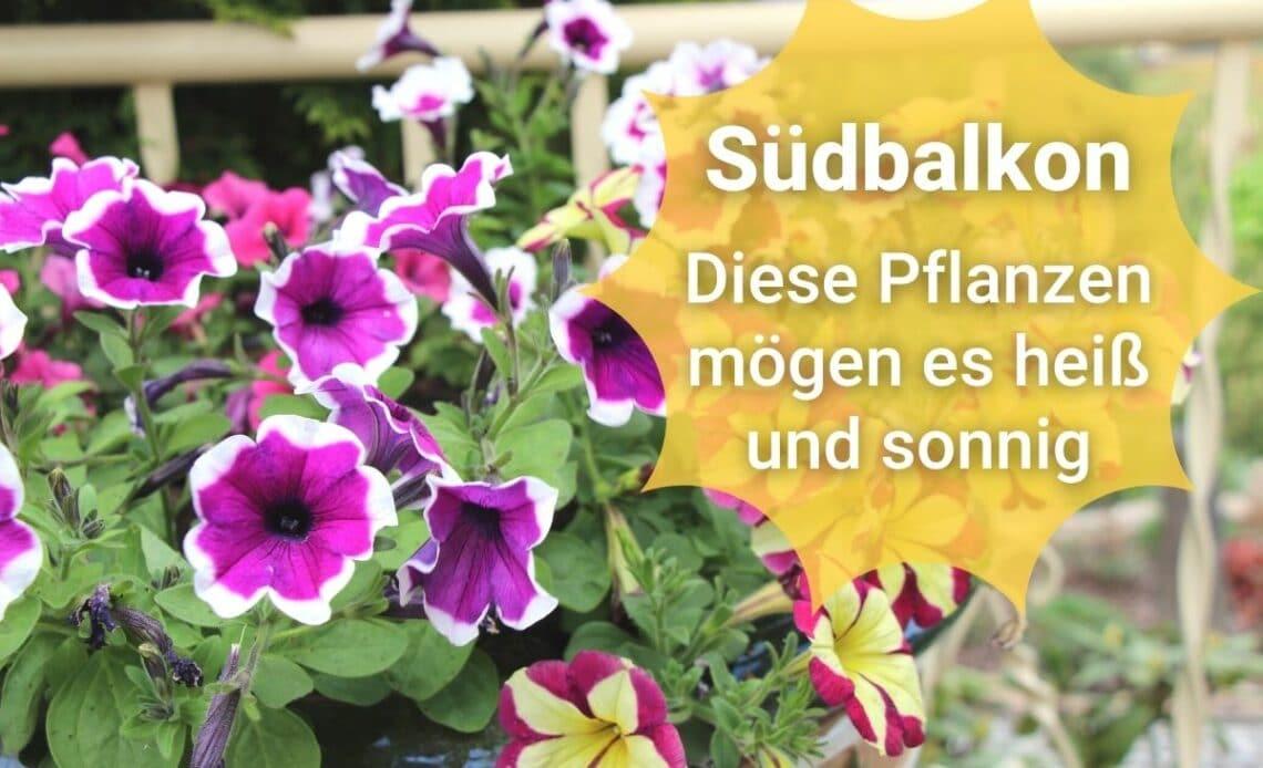 Pflanzen für den Südbalkon - Petunie