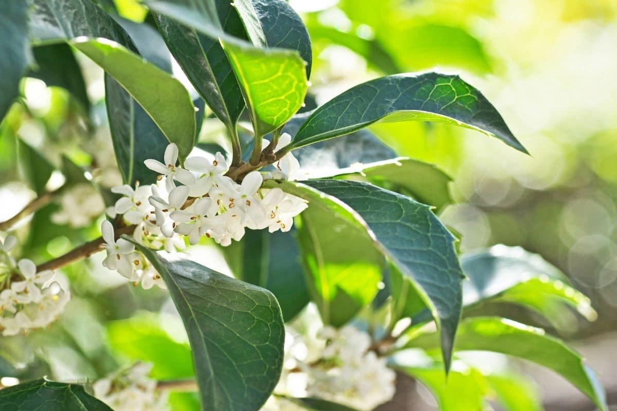 Strauch mit weißen Blüten - Süße Duftblüte