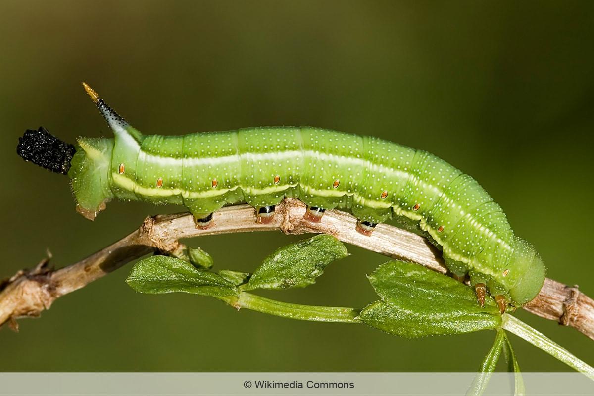 Schmetterlingsraupen - Taubenschwänzchen