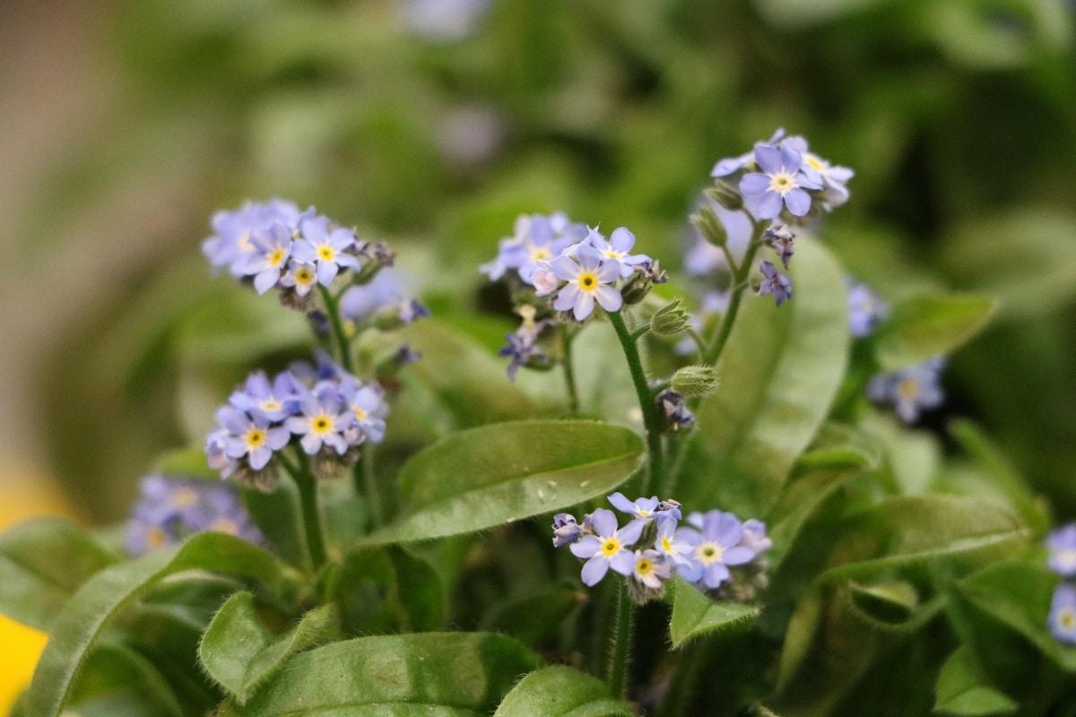 Wald-Vergissmeinnicht - Myosotis sylvatica