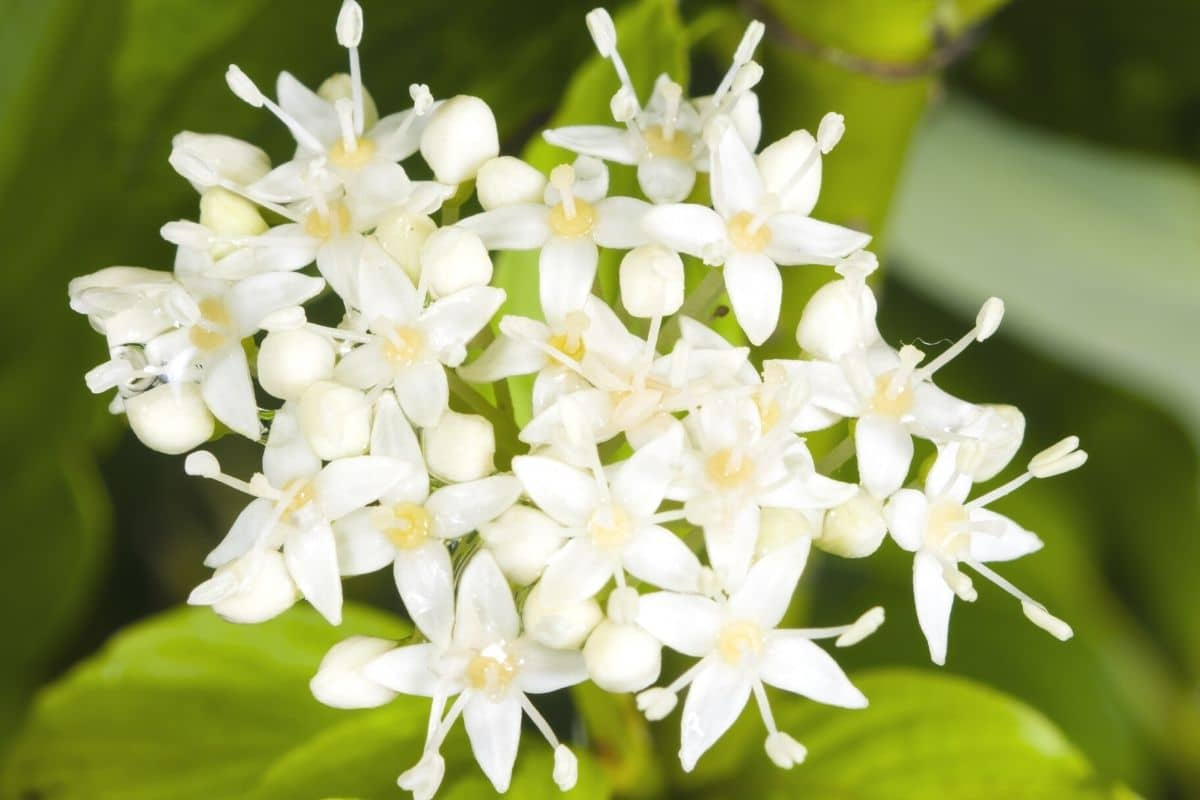 Weißer Hartriegel - Cornus alba