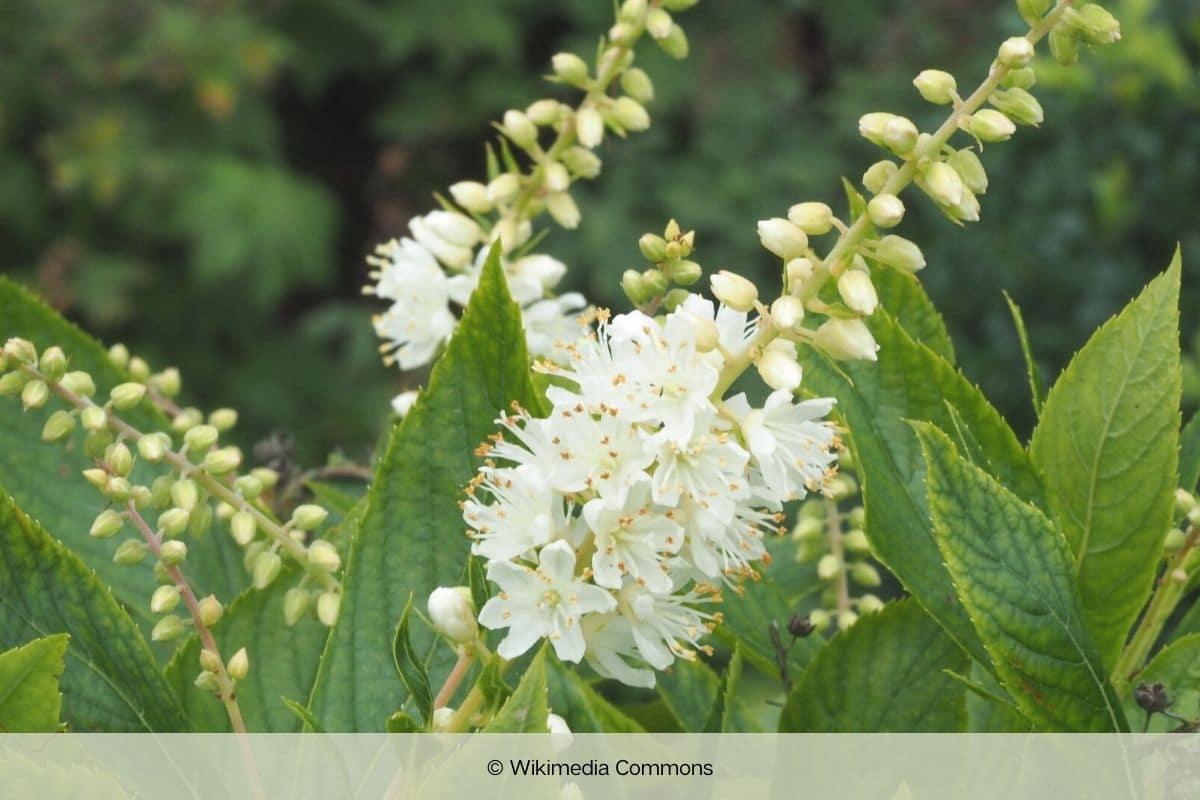 Zimterle - Clethra alnifolia