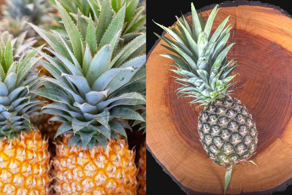 Ananas-Sorten