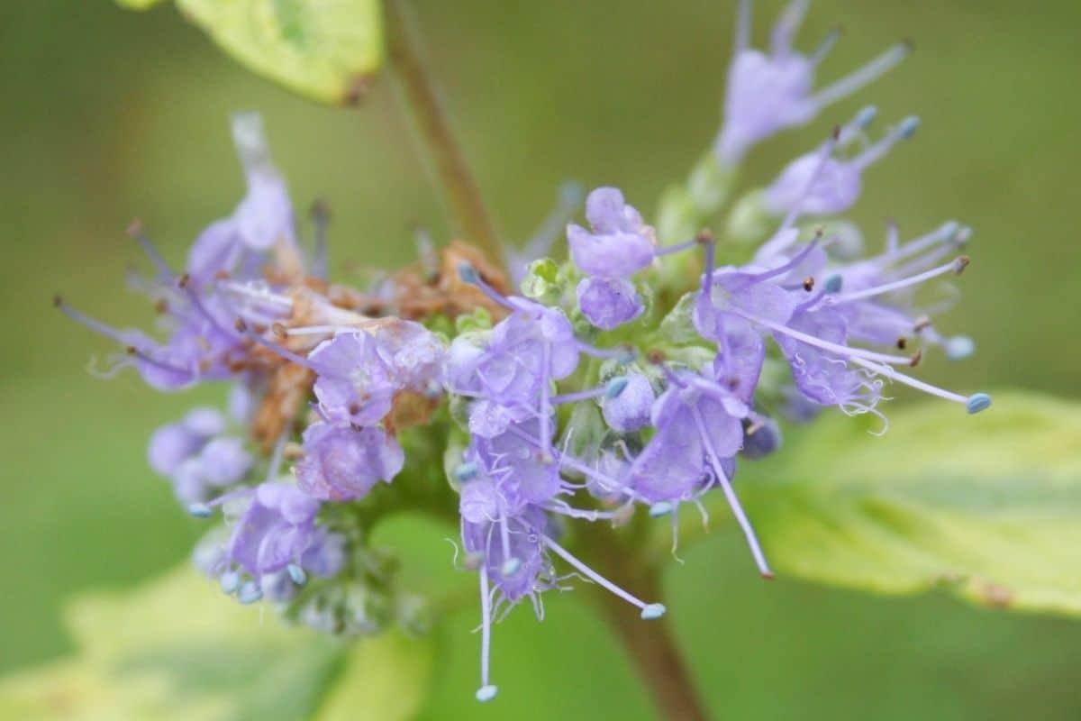 Winterharte Terrassenpflanzen - Bartblume