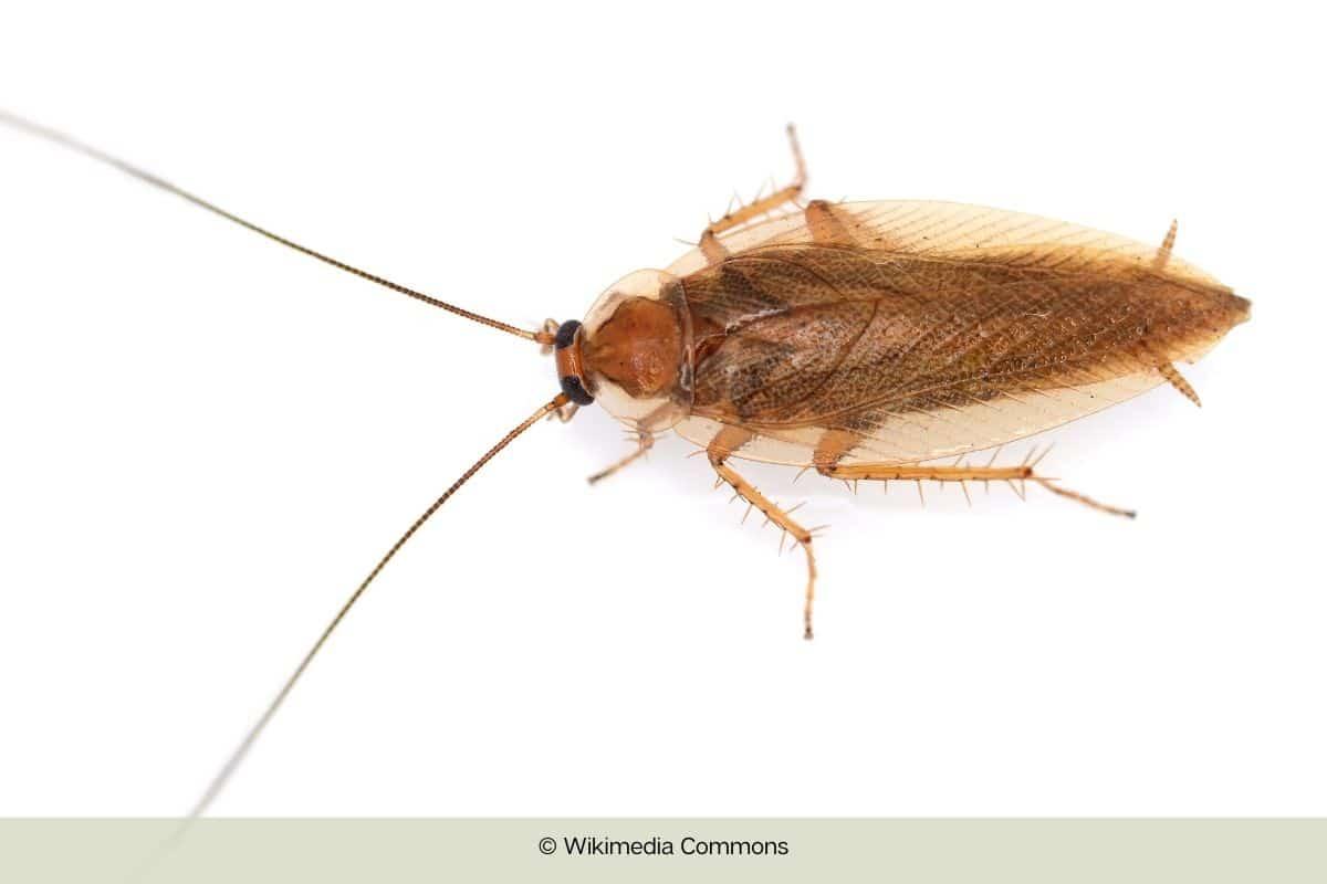 Verwechslung der Kakerlake vermeiden - Bernstein-Schabe