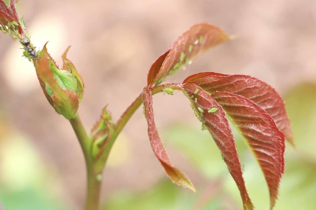 Grüne Blattläuse an Rosen