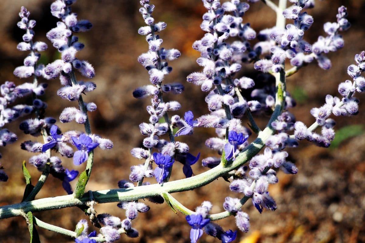 Winterharte Terrassenpflanze - Blaurauten
