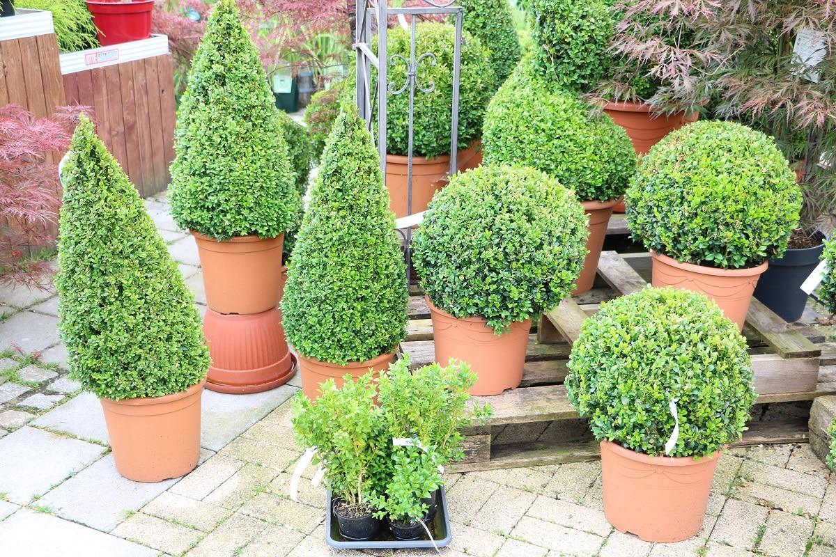 Winterharte Terrassenpflanzen - Buchsbaum
