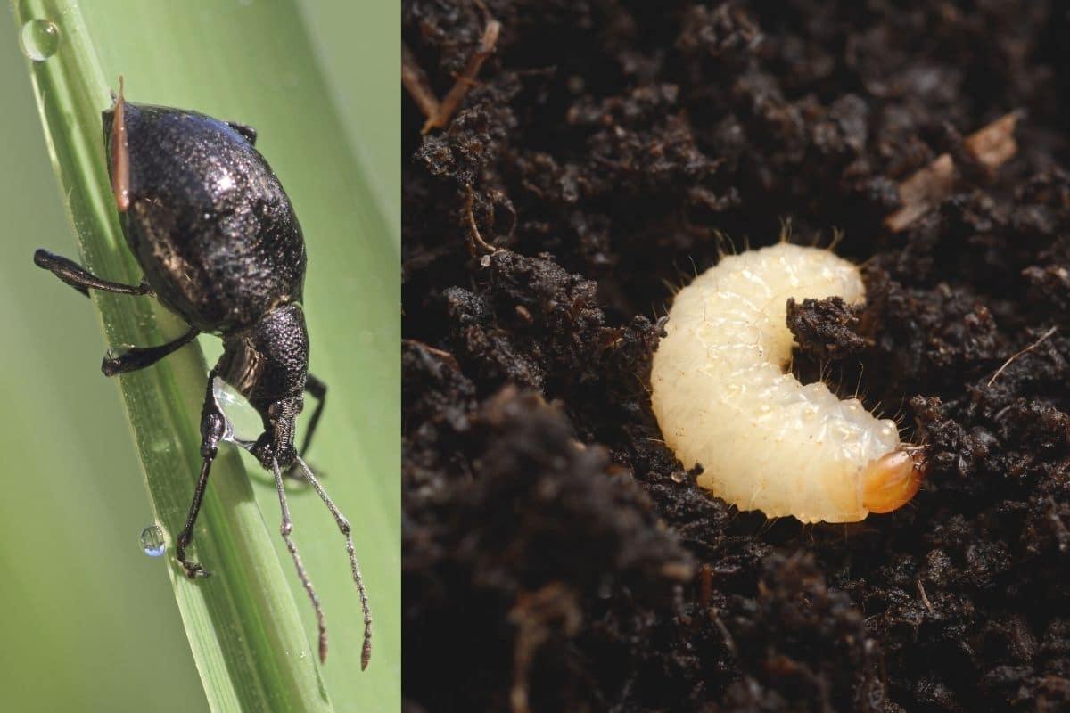 Käfer im Haus bestimmen - Dickmaulrüssler