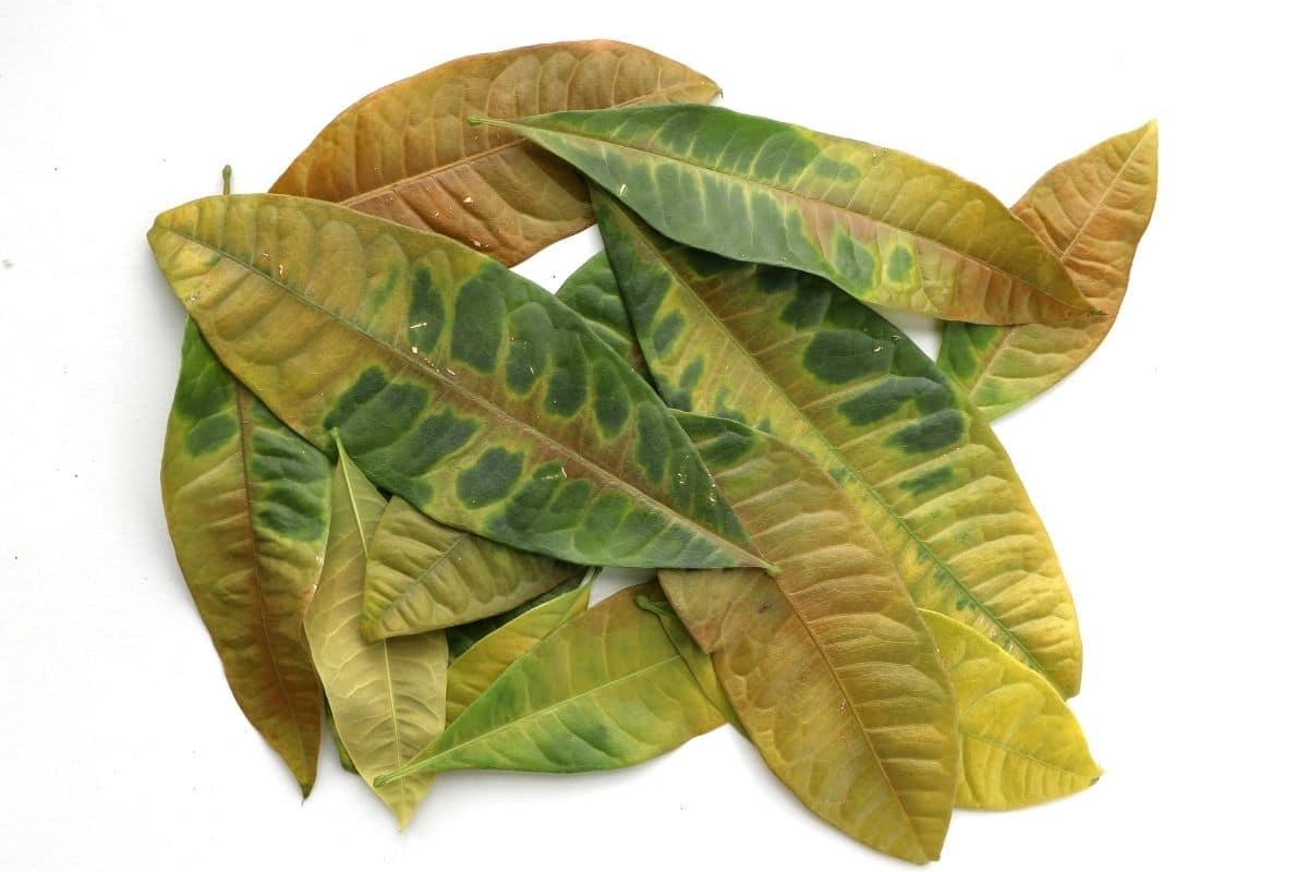 Verfärbte Blätter an Dieffenbachie