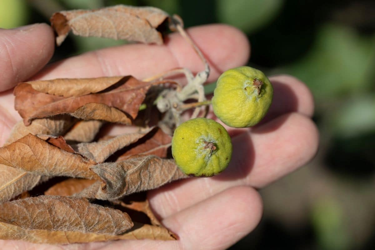 Braune Blätter an Apfelbaum - Feuerbrand