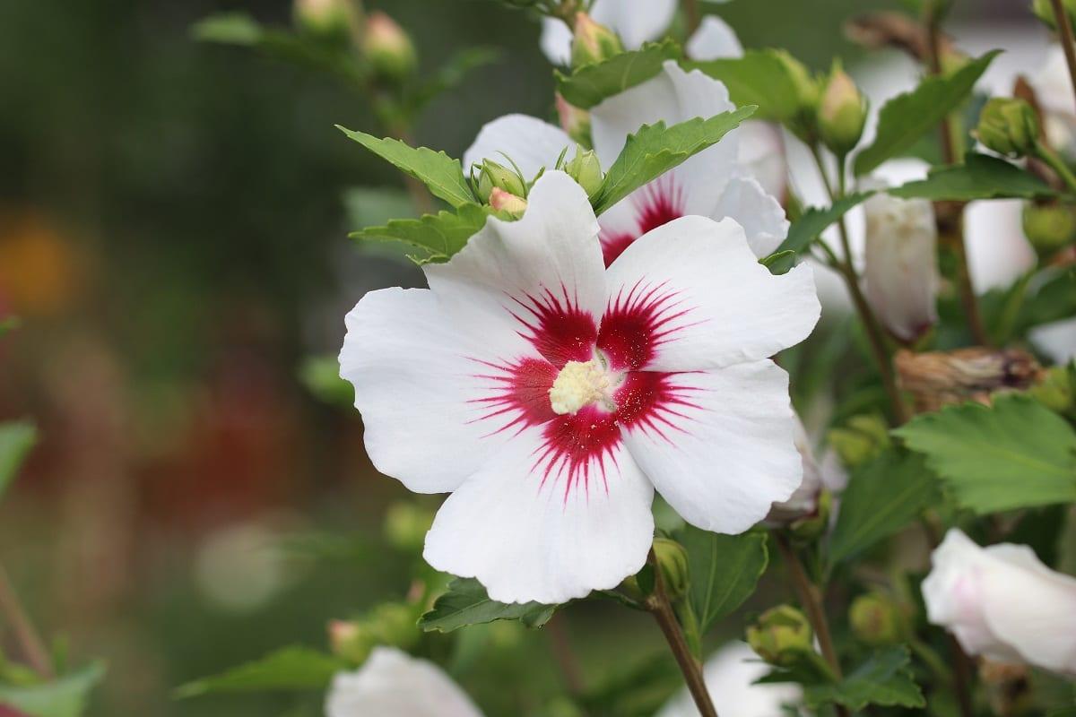 Gartenhibiskus - Hibiscus syriacus