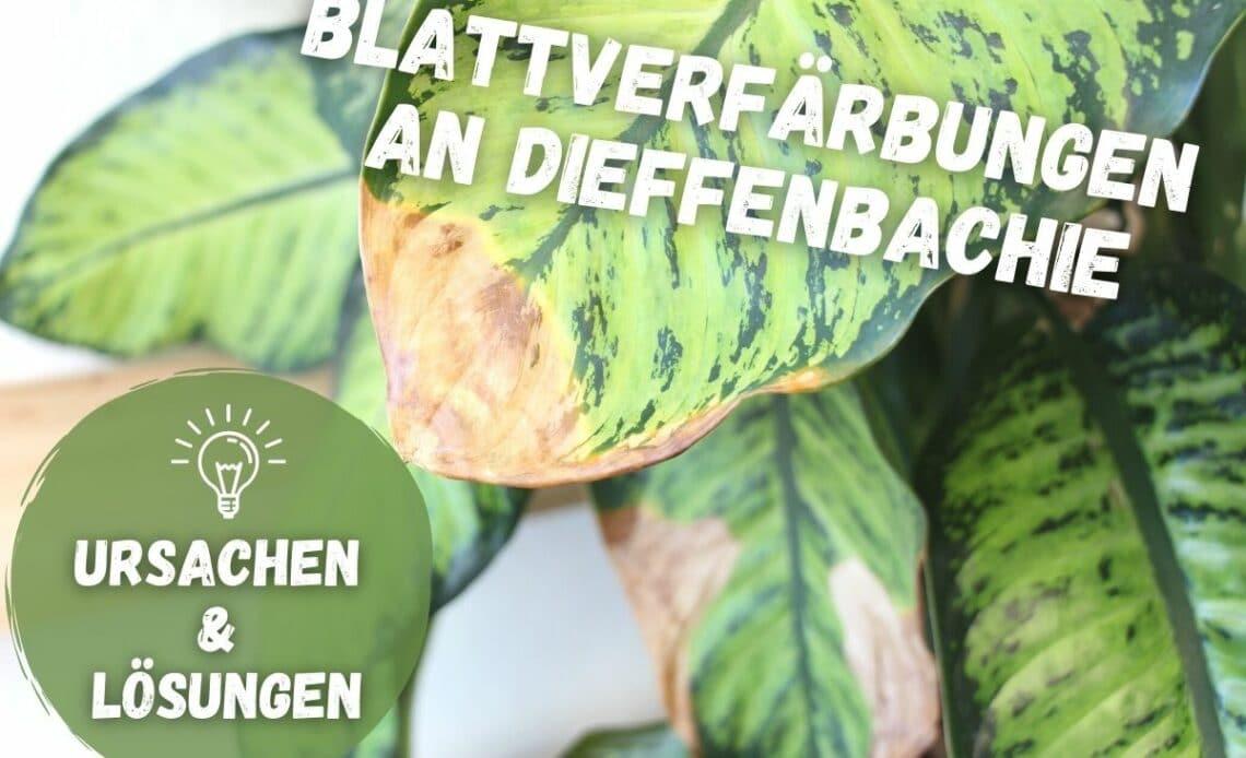 Braune Blätter an Dieffenbachia