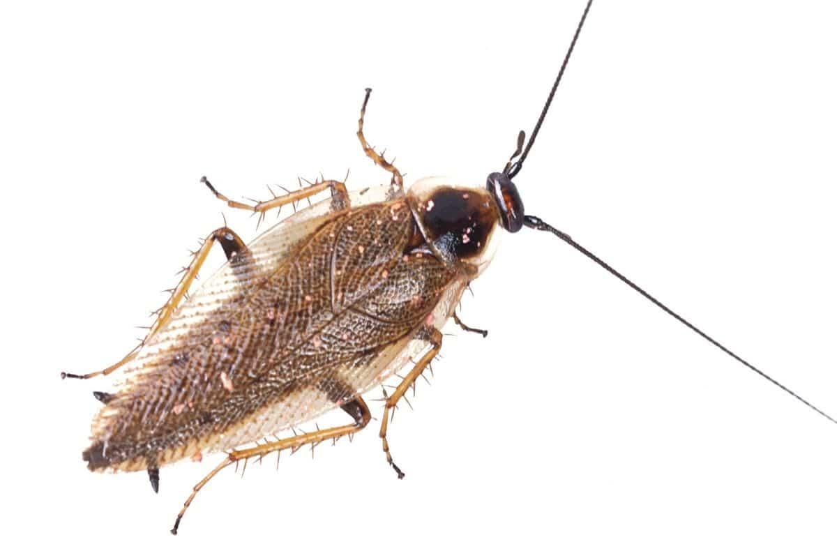 Verwechslung von Kakerlaken - Gemeine Waldschabe