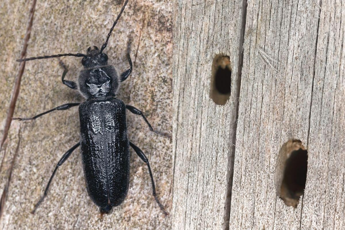 Käfer im Haus bestimmen - Hausbock