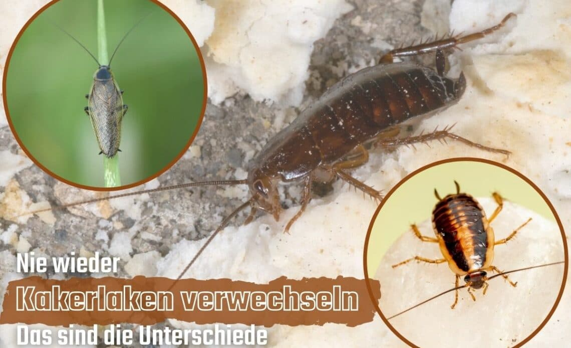 Verwechslung von Kakerlaken vermeiden