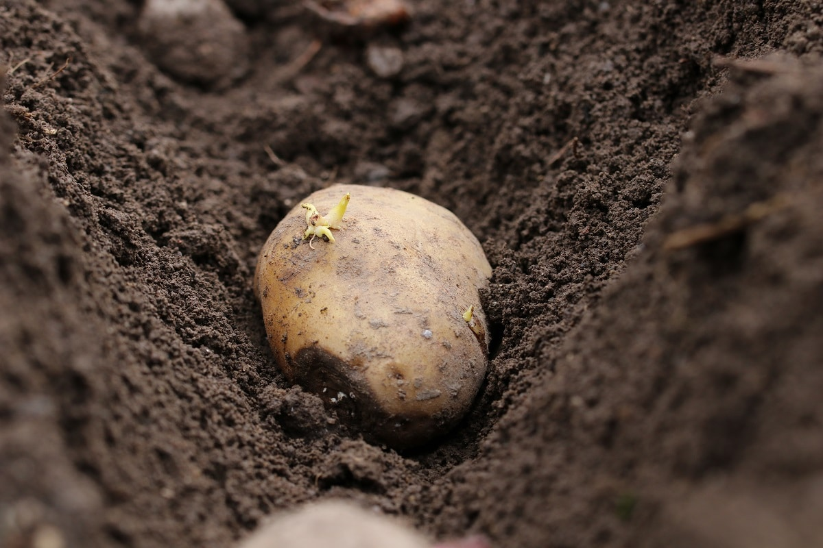 Kartoffeln in Reihe legen