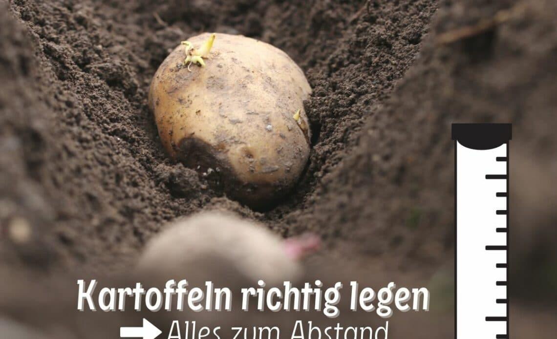 Kartoffeln richtig legen