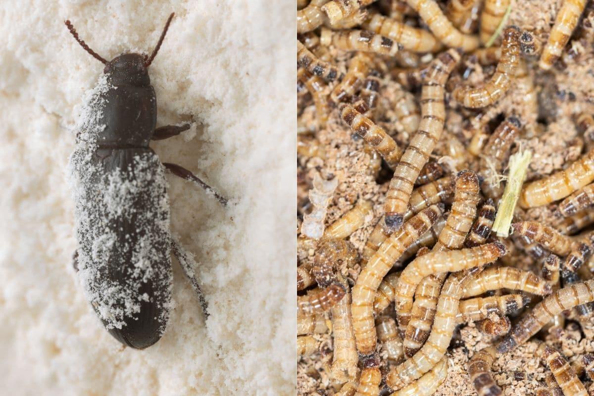 Käfer im Haus - Mehlkäfer