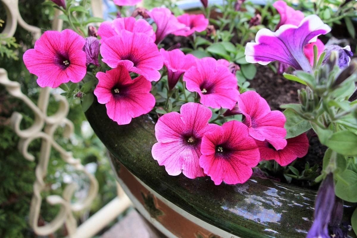 Terrassenpflanzen für volle Sonne - Petunien
