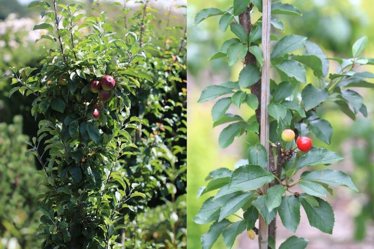 Säulenobst - Apfel und Sauerkirsche
