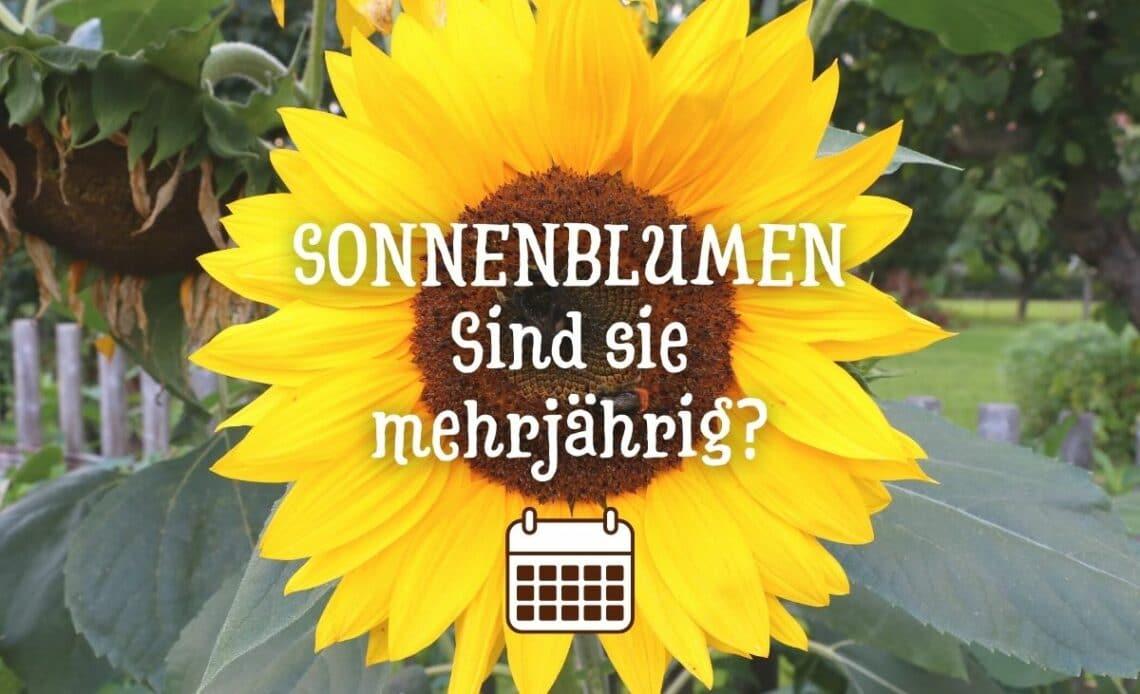 Sind Sonnenblumen mehrjährig