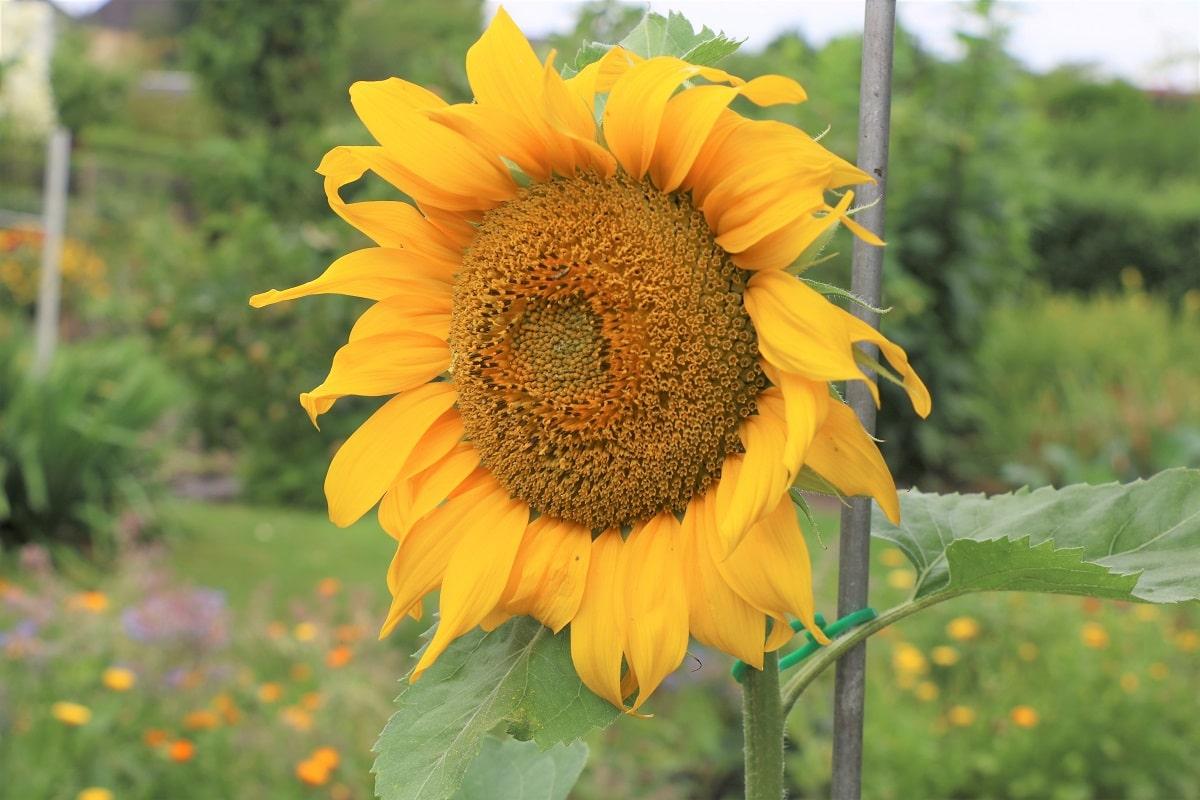Gewöhnliche Sonnenblume - Helianthus annuus