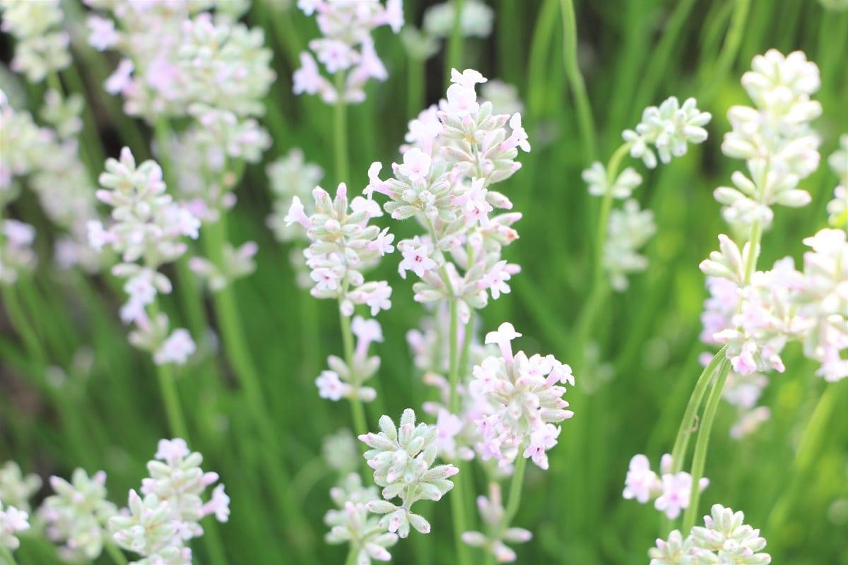 Terrassenpflanzen für volle Sonne - Weißer Lavendel