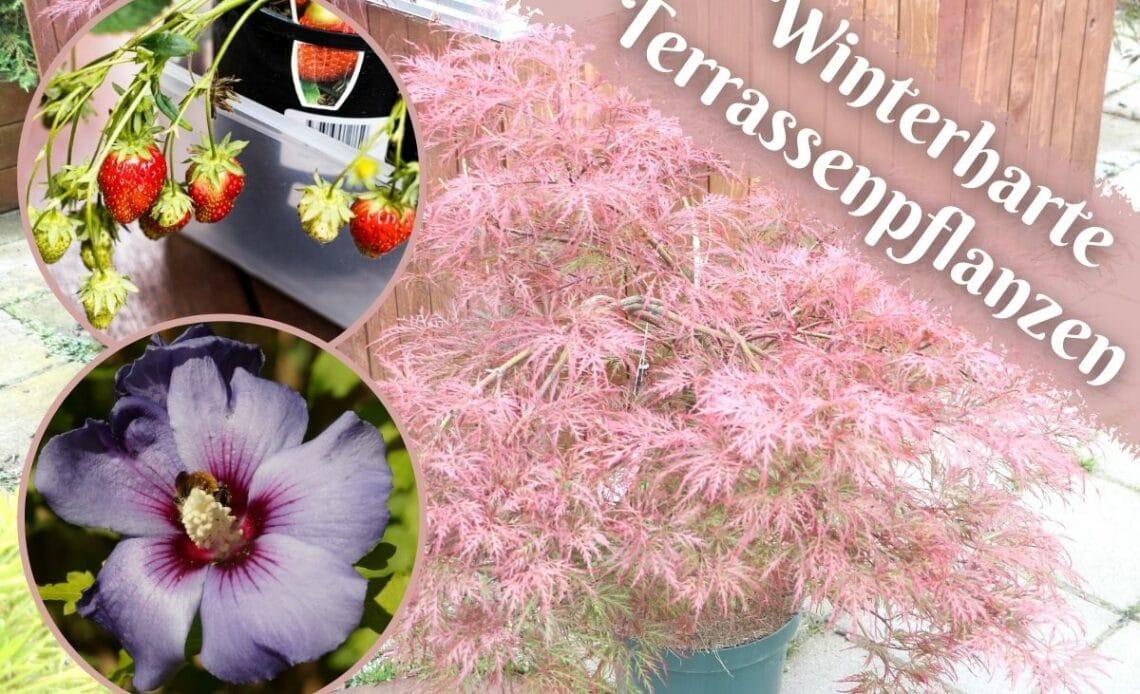 Winterharte Terrassenpflanzen - Fächerahorn, Gartenhibiskus und Erdbeeren