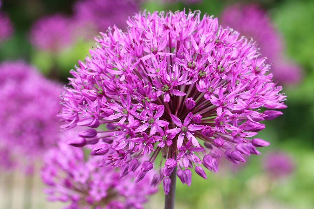 Zierlauch - Allium