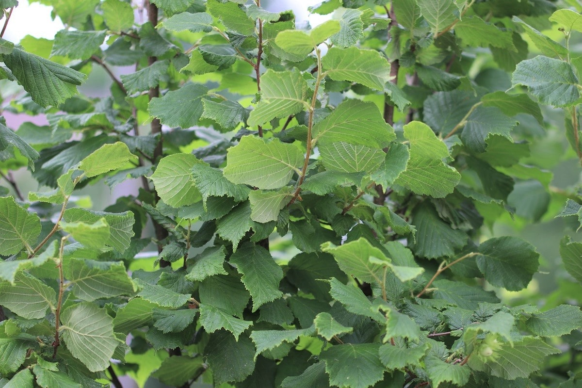Haselnussstrauch - Corylus avellana