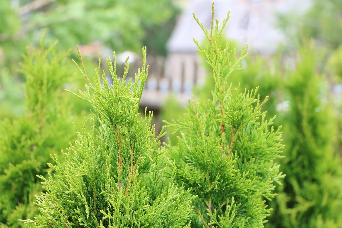 Lebensbaum - Thuja 'Smaragd'
