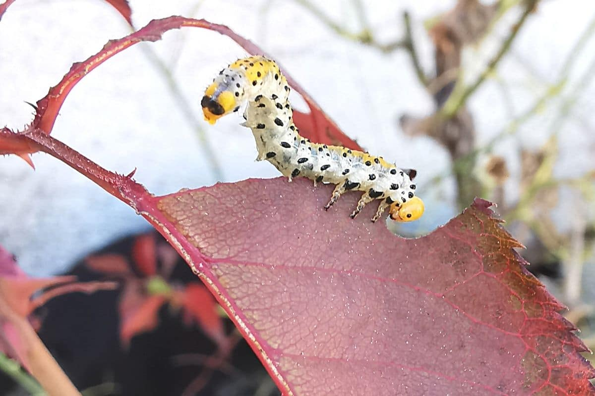 Rosenblattwespe - Allantus cinctus