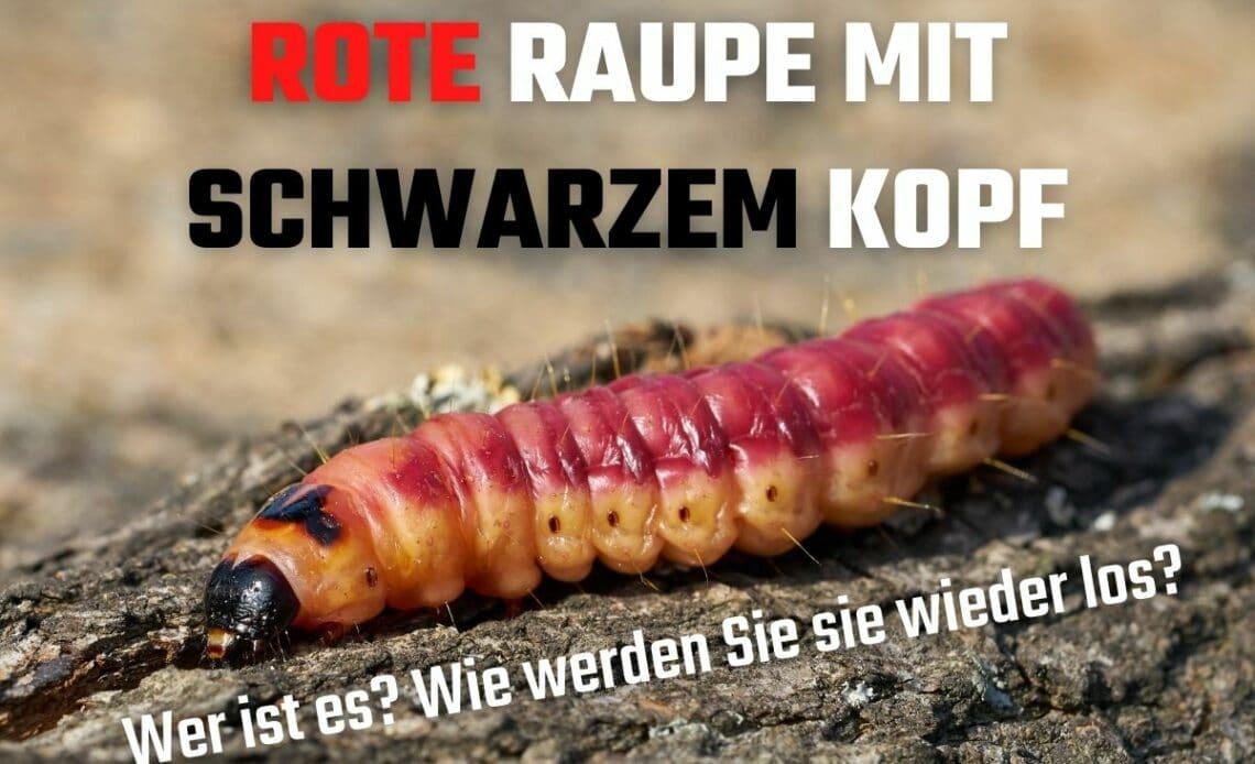 Rote Raupe mit schwarzem Kopf - Weidenbohrer (Cossus cossus)