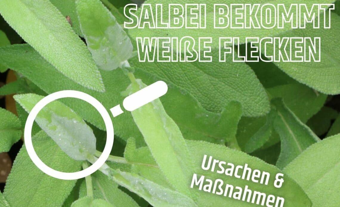 Weiße Flecken an Salbei-Blättern