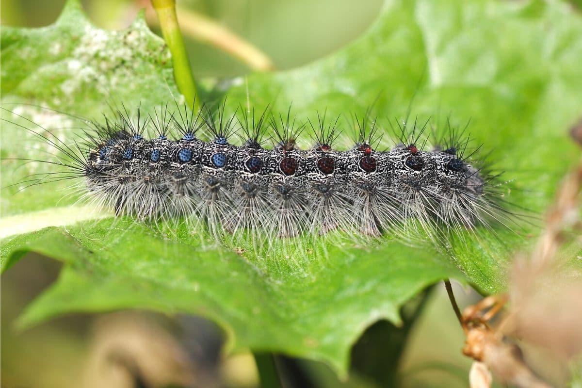 Schwammspinner - Lymantria dispar