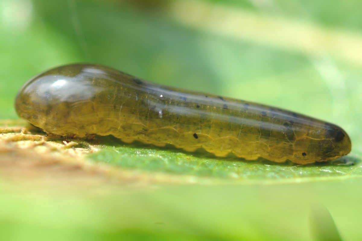 Schwarze Kirschblattwespe - Caliroa cerasi
