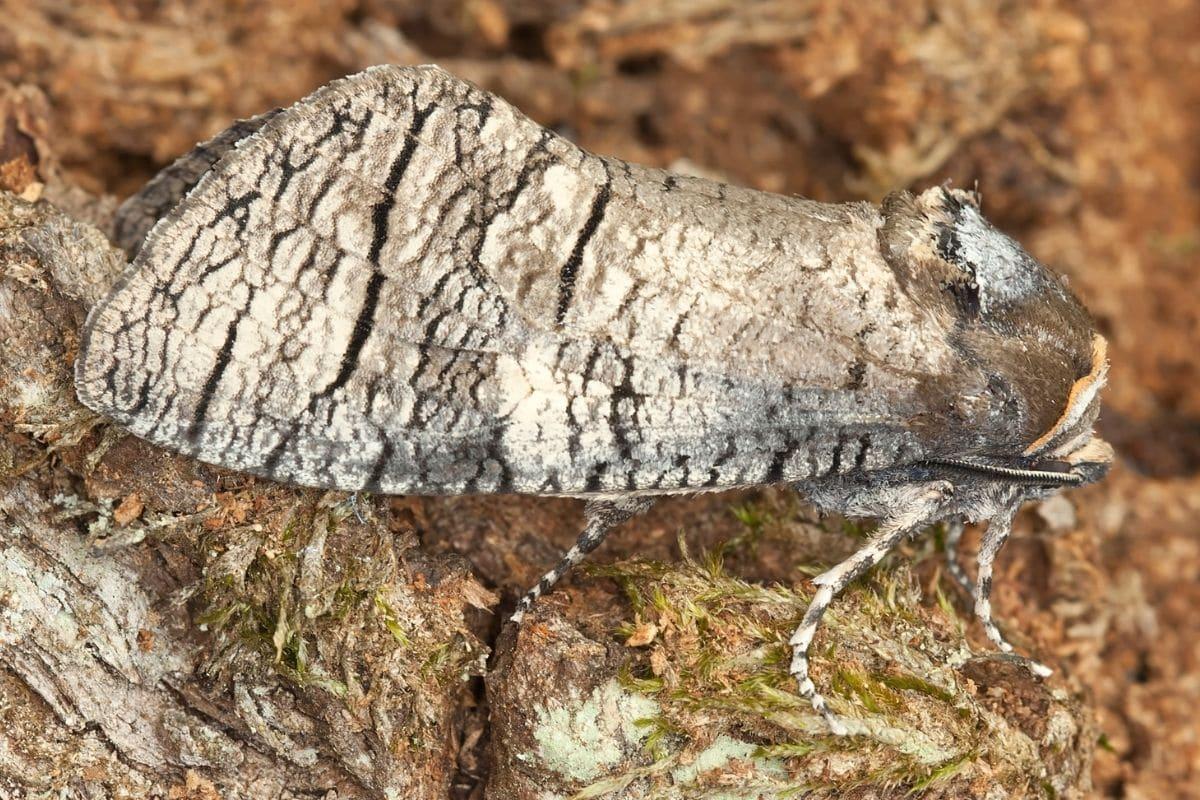 Weidenbohrer (Cossus cossus) als Schmetterling