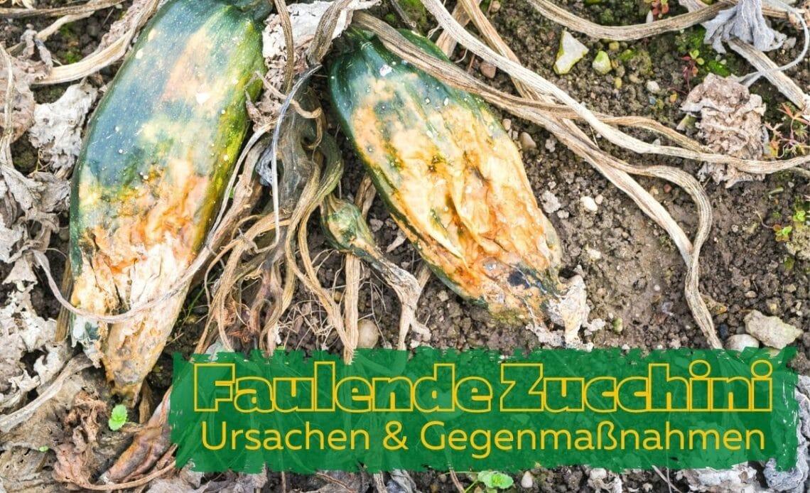 Zucchini faulen an der Spitze