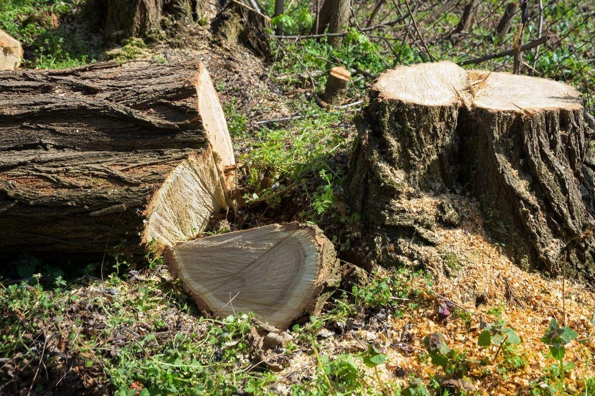 Baumstumpf mit gefällter Akazie